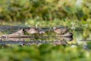 Wood duck siblings 2019