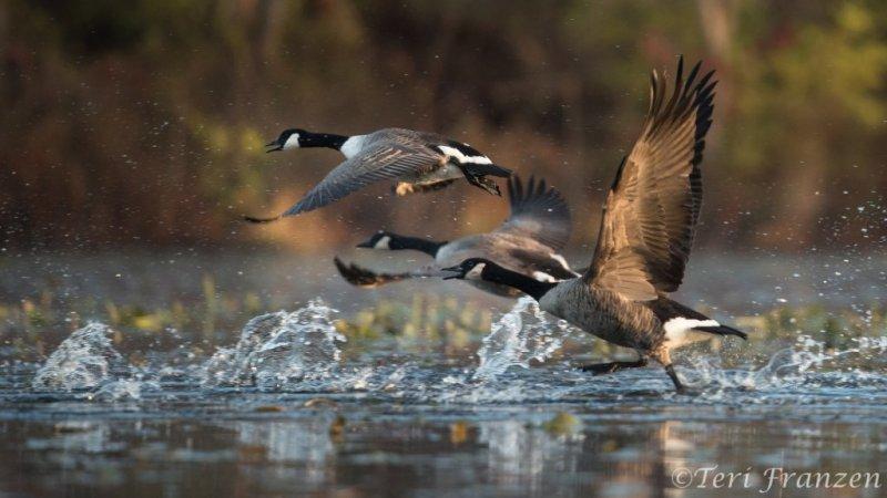 Canada Geese Taking Flight