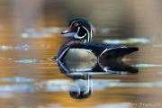 Drake Wood Duck in Autumn Hues