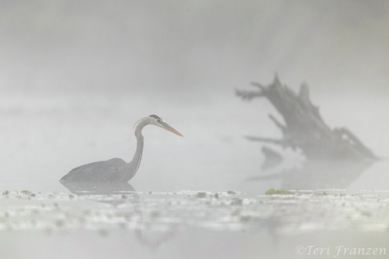 Great blue heron hunting in deep water and dense fog