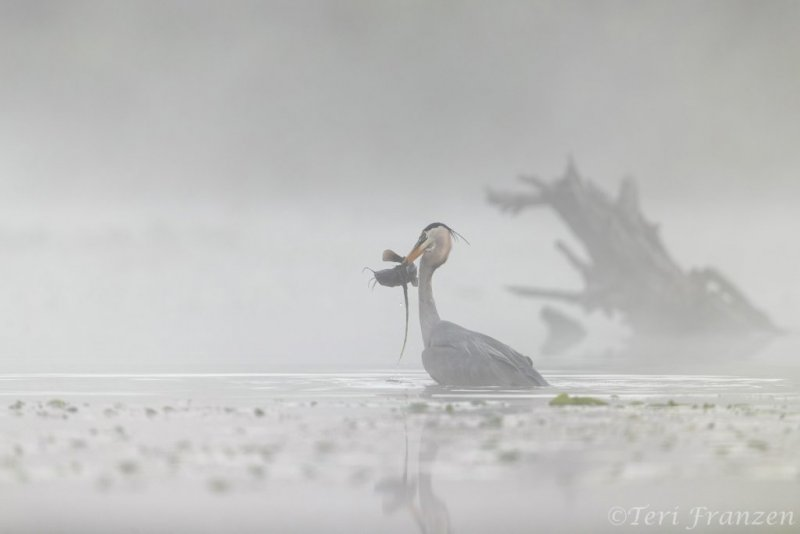 Emerging with its catfish catch