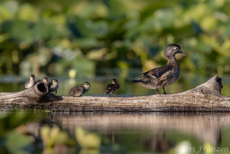 Young family of wood ducks on a log 2019