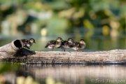 Wood ducklings 2019