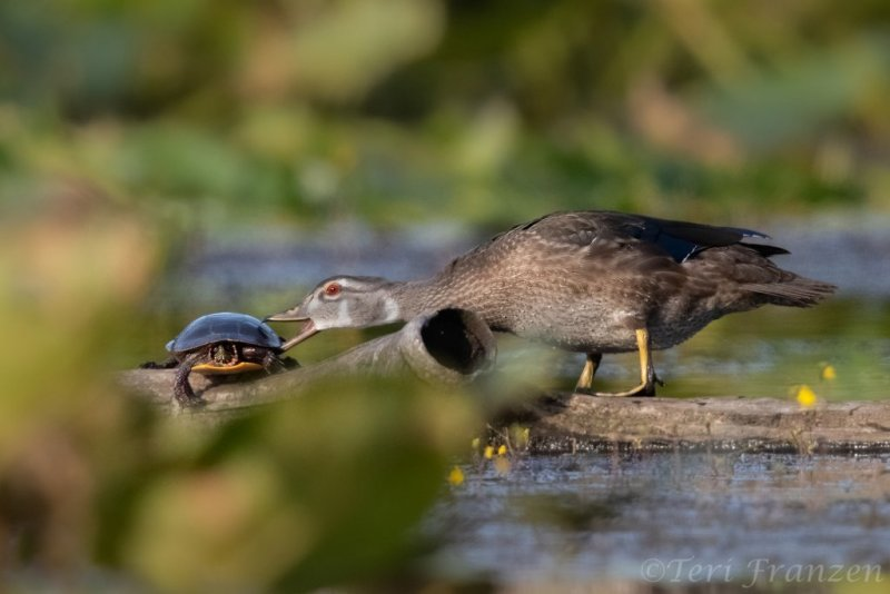 Get off my log!  Young drake wood duck and painted turtle.  2019