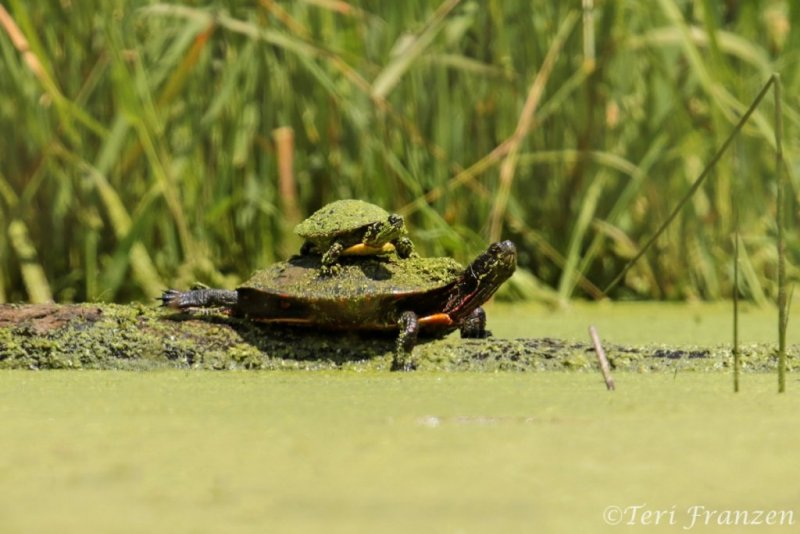 Painted Turtle (PT_CH0A2073)