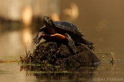 Painted Turtle (PT_CH0A2347)