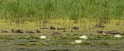 Wood Duck Families