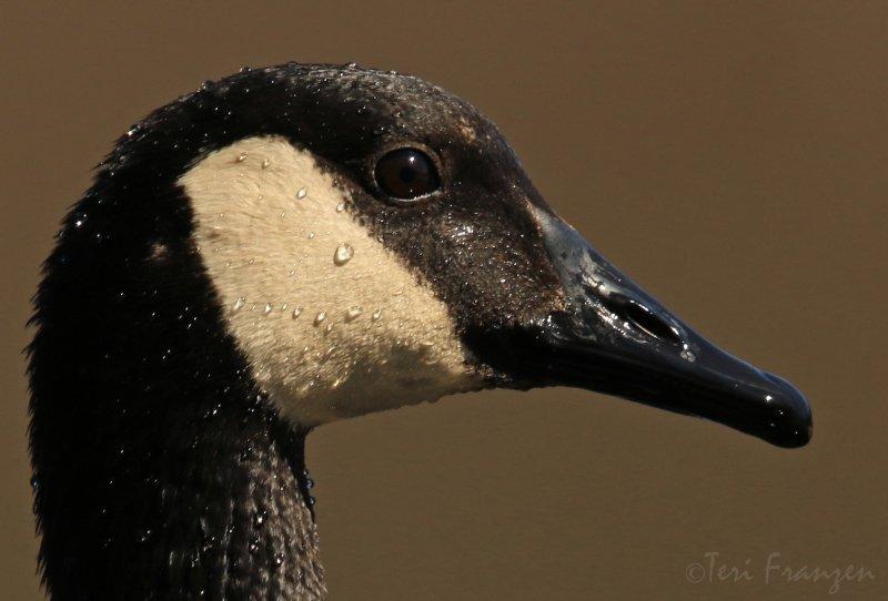 Canada Goose Portrait