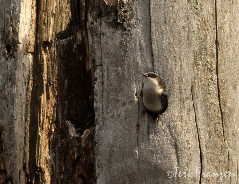 Female Tree Swallow