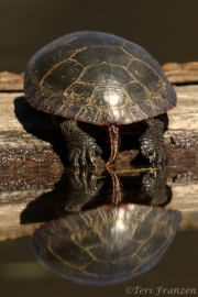Painted Turtle (PT_CH0A7742)