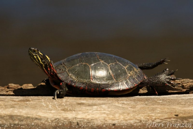 Painted Turtle (PT_CH0A7870)