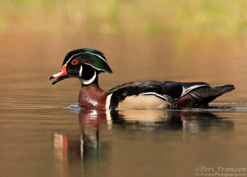 Drake Wood Duck