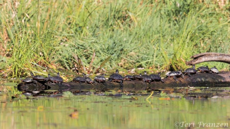 Painted Turtle (PT_IMG_3100_2400_Sgn