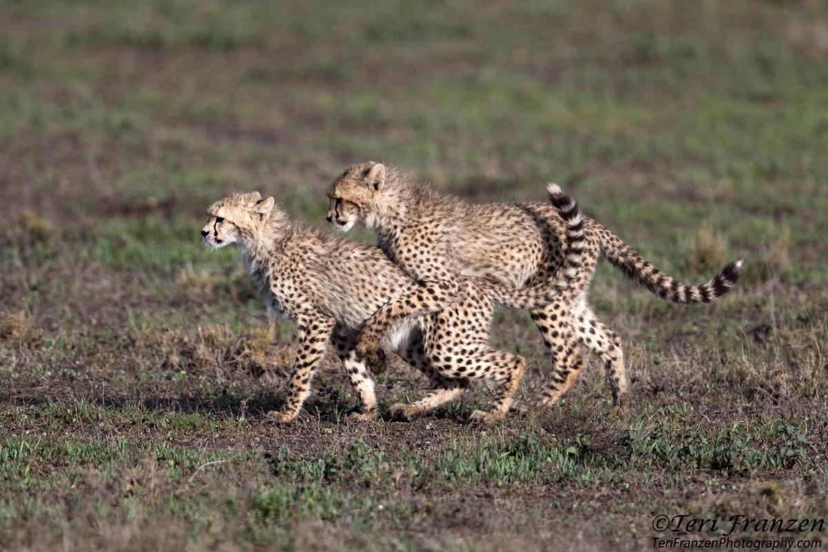 Playful Cheetah Cubs