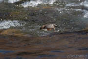 White-throated Dipper Diving