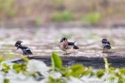 Wood duck boys' club