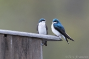 Tree swallows often perched on the box