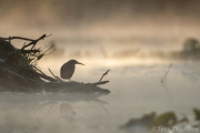 Green heron unting on the lodge one foggy morning