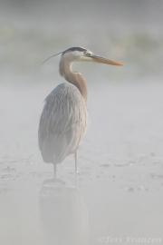 Great blue heron standing thigh-deep in water