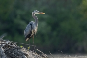Great blue herons often hunted from the lodge