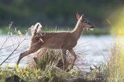 White-tailed deer often cross at the berm