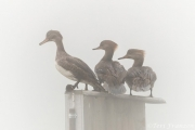 Hen hooded mergansers keeping watch on the wood duck box