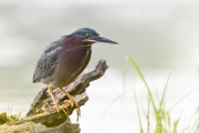 Green heron hunting on the log right outside the blind