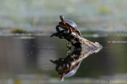 Painted turtles emerge to soak in the sun's rays