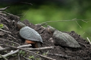 Two snapping turtles on the beaver lodge.  I once saw six at one time.