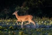 White-tailed deer prancing across the berm