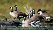 Wood Duck Hen and Geese