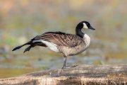 Canada Goose Wing stretch
