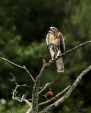 Fledgling Red-tailed Hawk and American Robin
