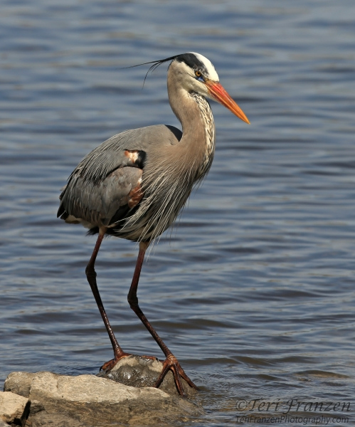 Great blue heron for Blue heron fishing