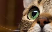 Cat's Eye (captive)