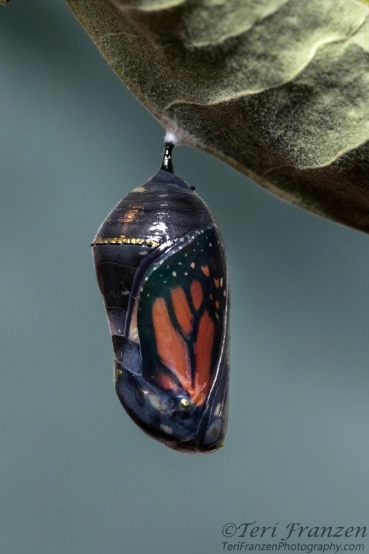 Monarch chrysalis in its final stages