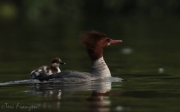Common Merganser in Summer