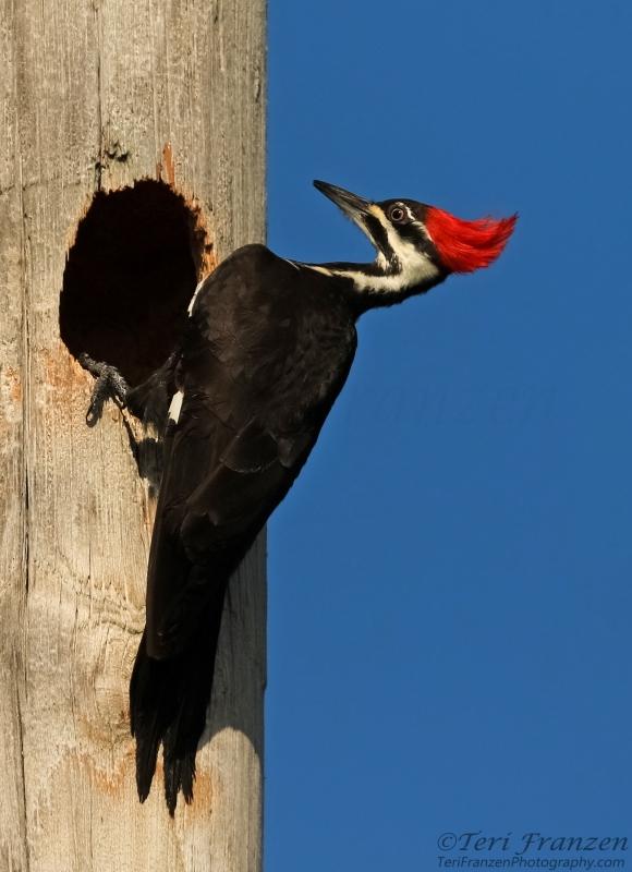 Adult Female Pileated Woodpecker