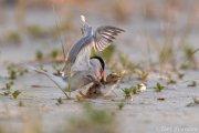 Common Tern attacking nestling