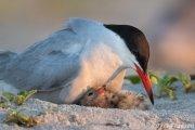 Common Tern brooding nestling