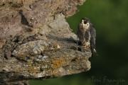 Peregrine Falcon Keeping Watch (3) - 2016