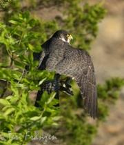 Peregrine Falcon Keeping Watch (2)- 2016