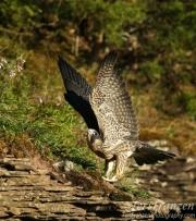 Peregrine Fledgling Wing Stretch - 2016