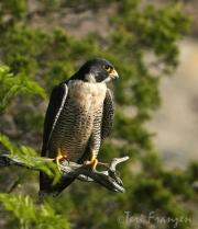 Peregrine Falcon Keeping Watch (1) - 2016