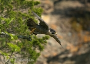 Peregrine Falcon Taking Flight 2016