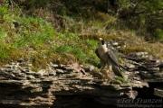 Peregrine Falcon 2016