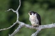 Peregrine Falcon 2017