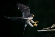 Final Approach, Peregrine Falcon 2017