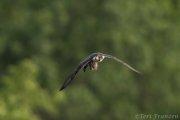 Peregrine Falcon 2020