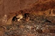 Peregrine Falcon Feeding her Nestlings - 2016